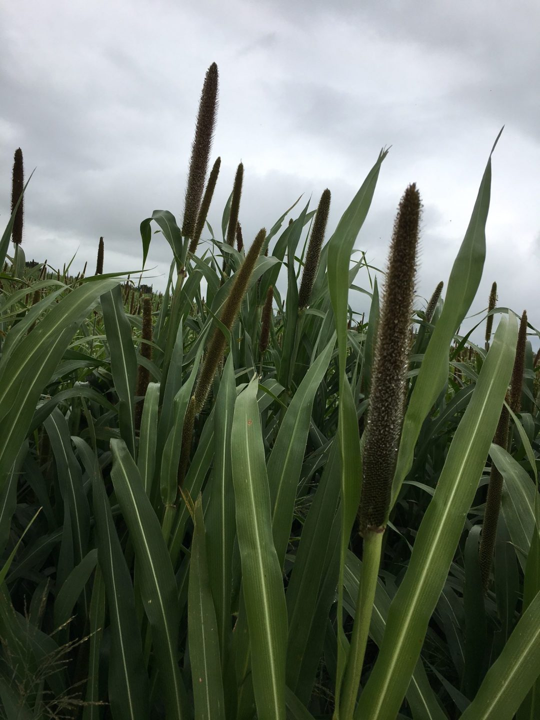 Pearl Millet Forage Seed For Sale Millborn Seeds