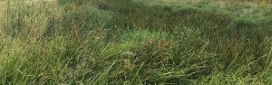 Wetland Seed Mix - Wetland Emergent Mix™ by Millborn Seeds