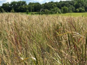 Native Grass Seed for Sale - Little Country Native Mix