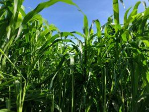 Sorghum Sudangrass Seed - MS 9000