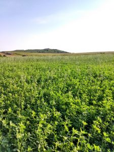 Alfalfa Grass Mix Seed for Sale