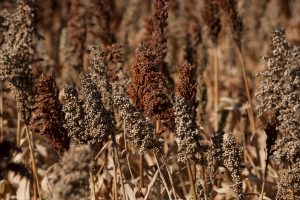 Seed for Game Bird Food Plots