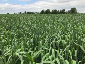 Oat Seed - Dual Threat - Millborn Seeds