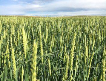 forage barley