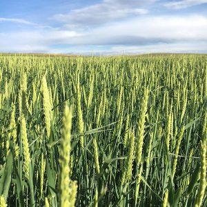 Barley Seed - Forage Barley