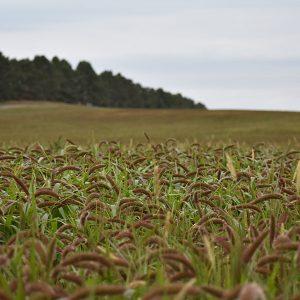 German Millet Seed for Grass & Hay - Millborn Seeds