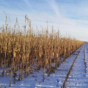 Corn Food Plot Seed