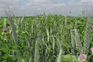 Forage Peas for Sale - Pea/Triticale