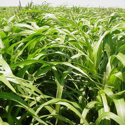 50 Lbs. Hybrid Pearl Millet Seeds Tifleaf 3
