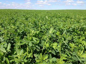 Prime Cut Alfalfa Seed