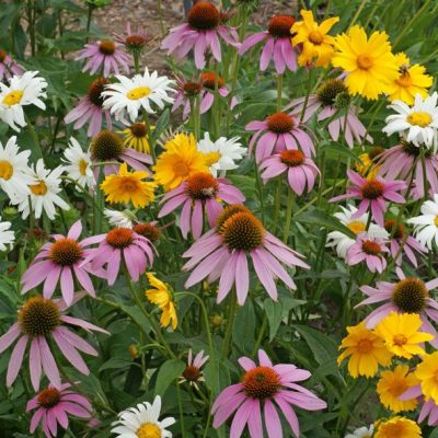 Wildflower Shade Mix Seeds - Shade Flower Medley Mix™