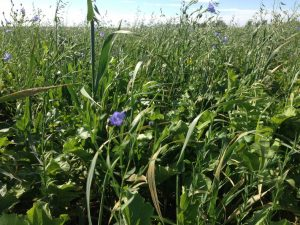 Fall Cover Crops - The Producer