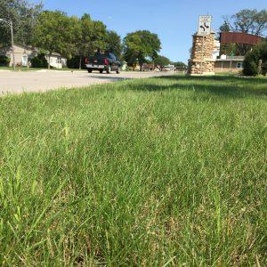 Seed for Salt Tolerant Grasses
