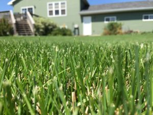 Lawn Grass Seeds - Quality Sun & Shade