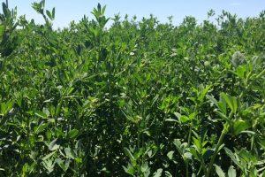 Vernal Alfalfa Seed