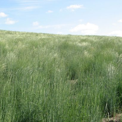 Dryland Grass Seed - High and Dry Grass Mix