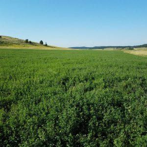Ladak Alfalfa Seed