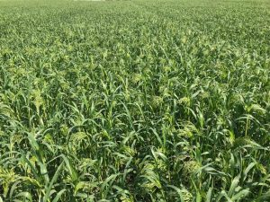 Proso Millet Seed