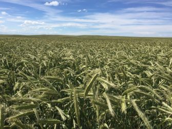 High Yielding Hybrid Rye Opens Options